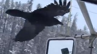 Raven spots favorite truck driver, follows him to next location