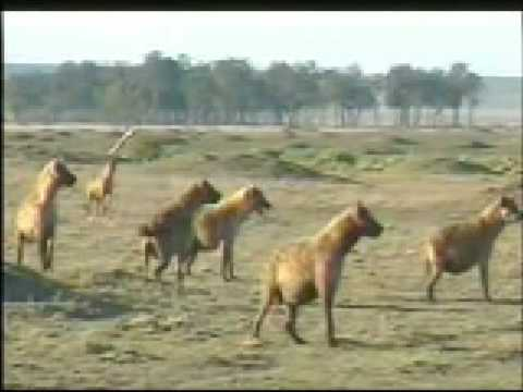Dos Leones Capturan Y Matan A Hiena - Two Male lions kills Hyena