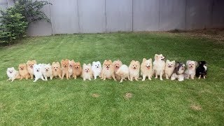 Twenty One Chihuahas Pose For pictures