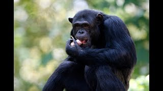 Why humans may have more in common with chimps than we thought