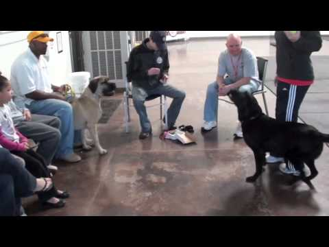 Dog training with South African Boerboel Mastiff - Part 1