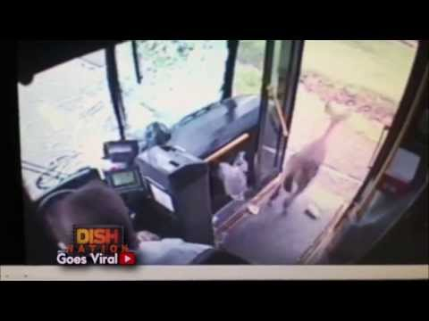 Deer Crashes Through Bus Windshield!