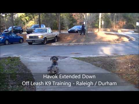 Havok (5 month old Great Dane) Before and After - Dog Training Durham Raleigh