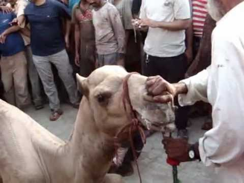 Camel Slaughter In Azizabad 2012/2.MPG
