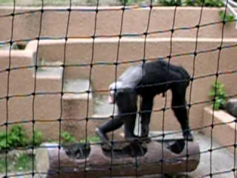 名古屋東山動植物園チンパンジーのおやつタイム