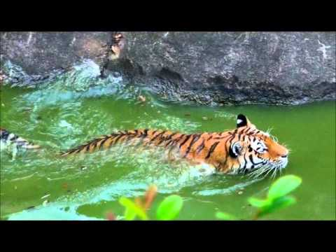 トラの水泳 Tiger's swimming.