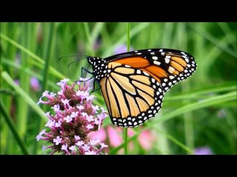 Monarch Butterflies Feed on Flowers in Montreal, Quebec