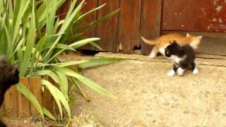 Small kitten meet their father for the first time !