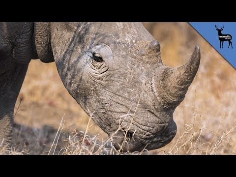 The End of The White Rhino