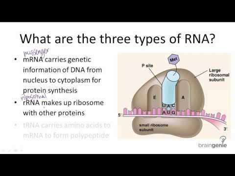 Three Types of Rna ▶ 10.3.2 Three Types of Rna