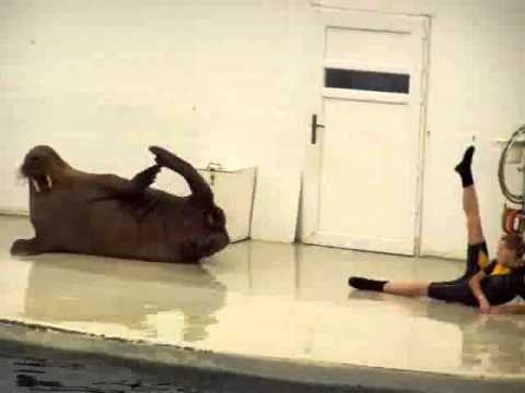 WALRUS EXERCISES WITH TRAINER
