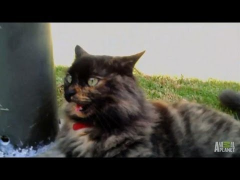 Princess Puffy Pants' Follow-Up | My Cat From Hell