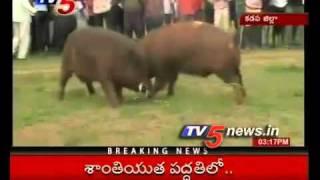 TV5 - Pigs Fight in Kadapa Dist
