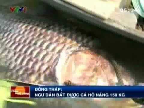 Bắt được cá Hô ở Đồng Tháp