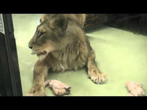 円山動物園 ワイルドタイム再開~Lion & Tiger eating