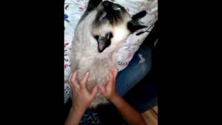 Мастит у кошки. Отсасываем молоко. - видео онлайн