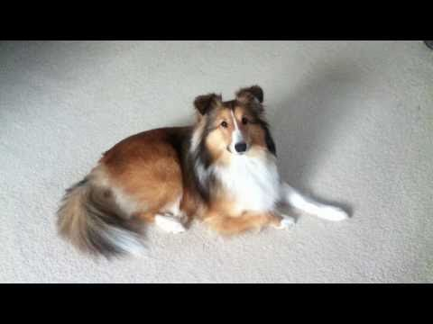 Sheltie Shetland Sheepdog Waits Patiently for Treat Bone Raw Hide Teeth Cleaner Eat