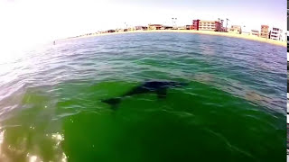Great white shark sighting off Alamitos bay jetty in Long Beach