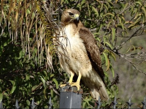 Hawk Attacks Baby Bird Nest Momma Mockingbird & Me Protect Cat Bird video