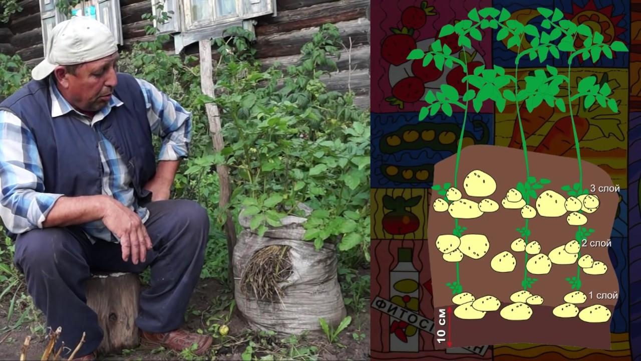 Выращивание картофеля дома 7