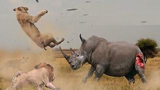 LION VS RHINO - THE REAL FIGHT - WILD ANIMAL ATTACKS