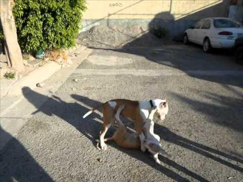 Bull terrier raza peligrosa