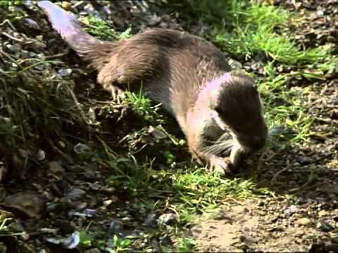Tarka the Otter(Anthony Phillips) part 2