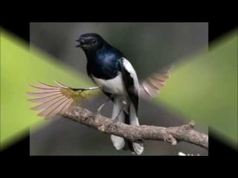 Kicau Burung Kacer mp3 free download