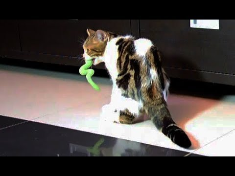 Cat Rocky playing fetch