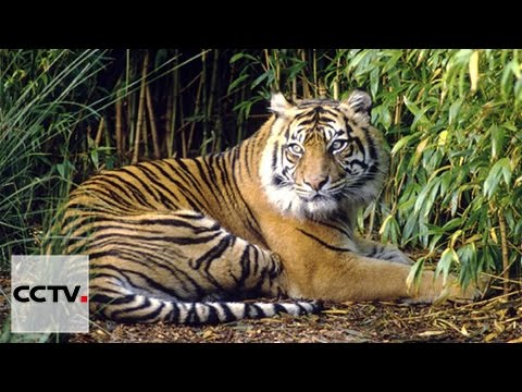 Assignment Asia 04/30/2016 The return of Thailand's tigers