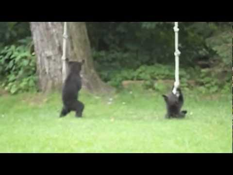 Playful Bear Cubs In My Backyard