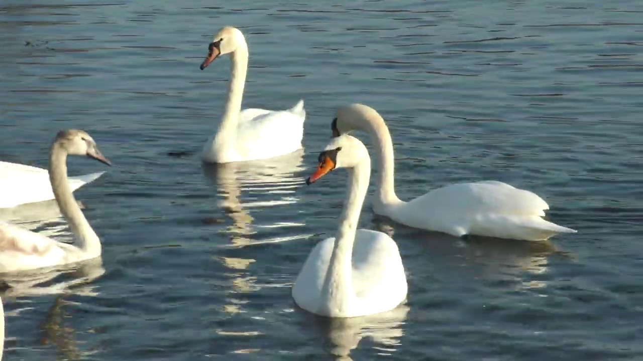 Біля Калуша зимують птахи, які створюють пару раз на все життя