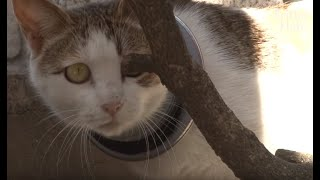 Cat With An Iron Hoop On Her Neck Starves But Feeds Her Kittens | Animal in Crisis EP41