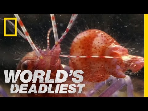 World's Deadliest - Amazing Pistol Shrimp Stun
