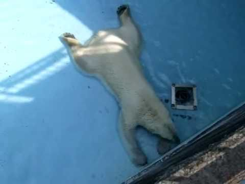 プールでゴロゴロ&ウォーキングのキロル(20110520 浜松市動物園)