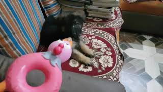 Show Quality German Shepherd Puppies Are Available In Kolkata