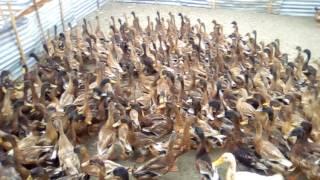 হাঁস পালনের পরিকল্পনা ও খরচের তথ্যাদি | হাঁসের খামার | Duck Firm in Dhaka, Bangladesh