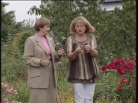 Дом, сад, огород.  Хризантемы.