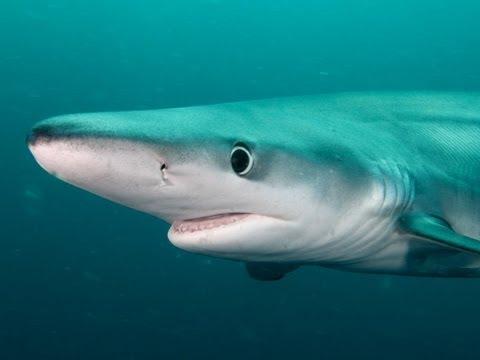 Blue shark videos blue shark video codes blue shark vid clips