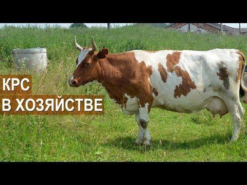 Молочный КРС в хозяйстве фермера Татьяны Жуковой