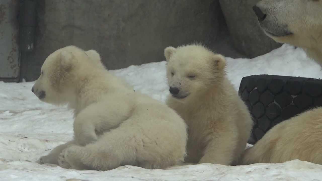 Картинки по запросу белые медвежата