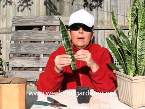 how to propagate a mother in laws tongue or snake plant