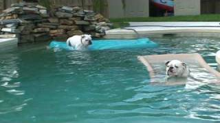 Beans - The swimming bulldog!