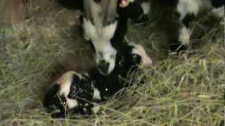 Fainting Goat Twins Birth