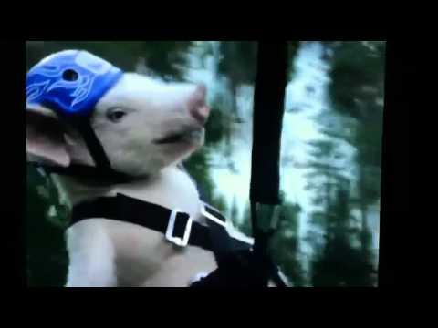 Geico Pig piggy Zip Line Commercial video