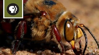 Bee Mating Frenzy Ends in Death
