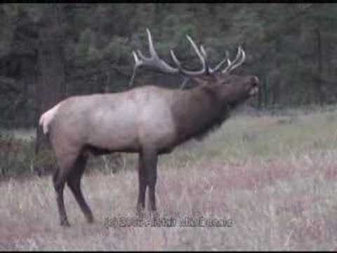 Bull Elk Bugling during fall rut in Estes Park CO Video