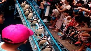 โชว์นกเพนกวิน ที่สวนสัตว์เปิดเขาเขียว น่ารักมาก