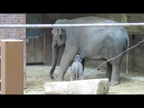 Der kleine Elefant, Rani und Don Chung im Zoo Leipzig