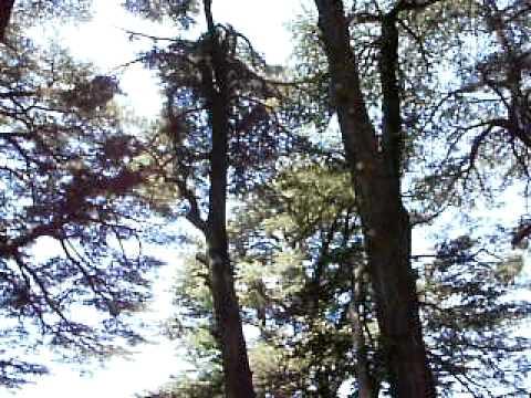 Cedars (Ariz) 5 000 years old trees in Lebanon at 2500 m attitude